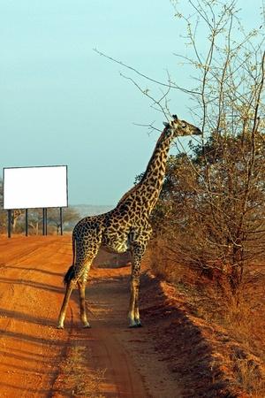 tsavo: Giraffe in the savanna billboard, Tsavo East, Kenya Stock Photo
