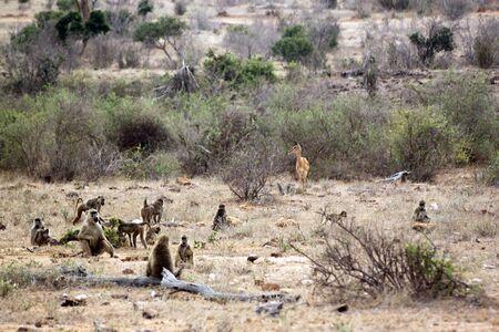 herbivore natural: gazelle in the savannah of the park of Tsavo East, Kenya