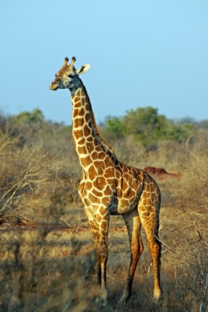 Giraffe in the savanna, Tsavo East, Kenya