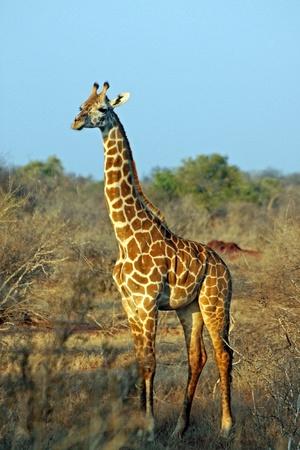 Giraffe nella savana, Tsavo East, Kenya Archivio Fotografico