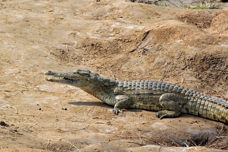 Crocodile savanna, Tsavo East Park in Kenya photo