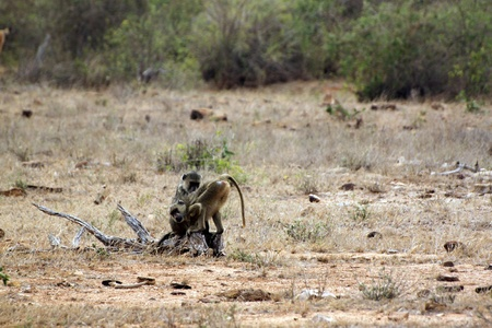 Savanna baboons at Tsavo East Park in Kenya photo