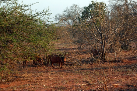 Warthog in savanna, Tsavo East in Kenya photo