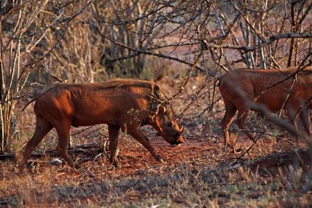 Warthog in savanna, Tsavo East in Kenya photo
