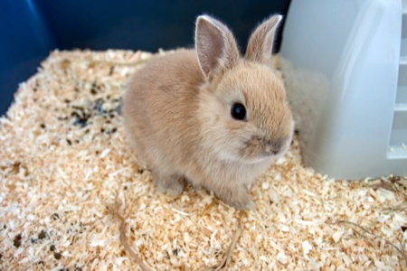 Dwarf baby rabbit in a cage in beige color
