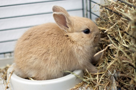 rabbit cage: Dwarf rabbit in a cage eating hay