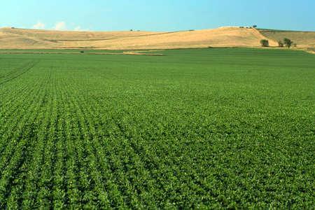 Soybean Field, Schuyler, Nebraska