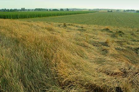 willamette: grass and hops fields, Willamette valley, Oregon