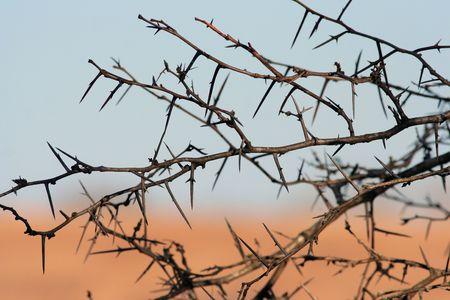 イナゴのとげのある木
