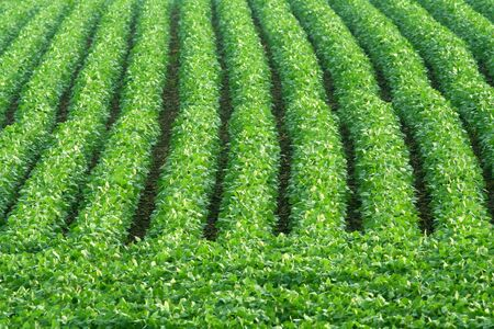 rows of green soybeans; Schuyler, Nebraska