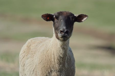 black-faced ewe, recently sheared in spring