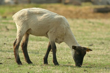 black-faced sheep grazing, recently sheared