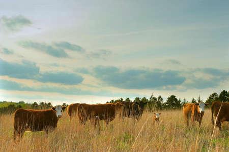 beef cattle in tall grass field, rural Nebraska