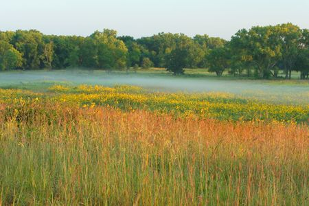 Tall grass prairie and sunflowers; misty morning at Homestead National Monument of America, Beatrice, Nebraska