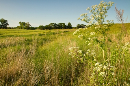 wild hemlock blooming in Kansas pasture field 版權商用圖片