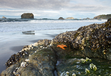 starfish, mussels, and barnacles on rock at low tide, Oregon