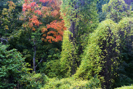 autumn colors and green climbing ivy, Hannibal, Missouri Stock Photo