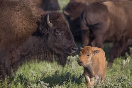 bison cow and calf; Maxwell Wildlife Preserve, Kansas
