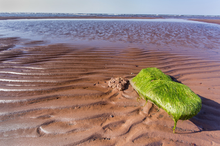 green seaweed on rock, red sand at low tide; Prince Edward Island Stock Photo