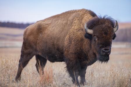 American Bison, Maxwell Wildlife Preserve, Kansas Archivio Fotografico