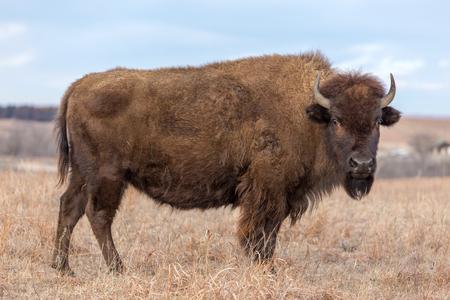 American Bison, Maxwell Wildlife Preserve, Kansas 版權商用圖片