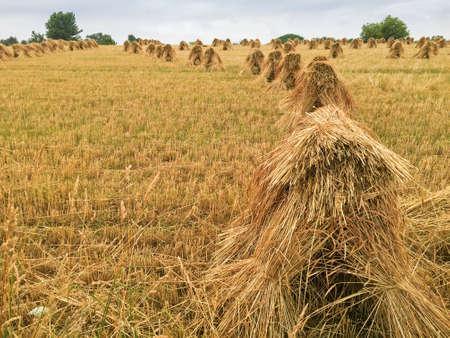 rows of wheat shocks in Ohio farm field