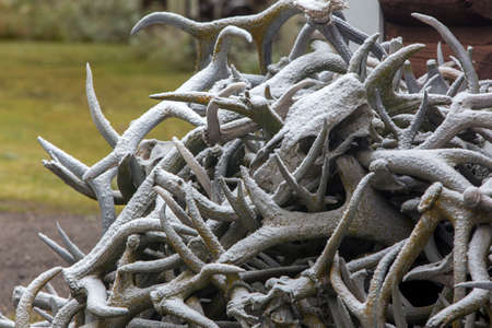 pile of elk antlers covered with light snow, Wyoming Фото со стока