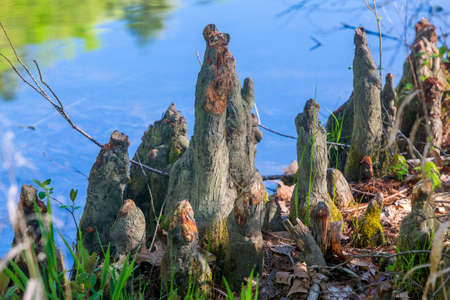 cypress knees by shoreline of Mountain Fork River, southeast Oklahoma Imagens