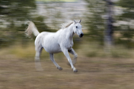 white Arabian horse running, blur background Stock Photo