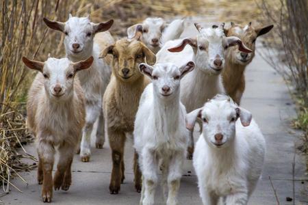 herd of goat kids approaching on sidewalk, rural Kansas