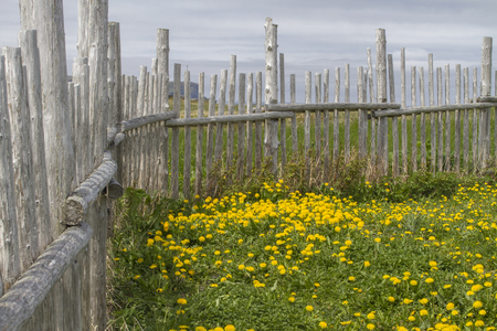 traditional wood stick fence, grass and dandelions; Newfoundland