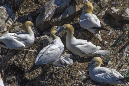 Northern Gannets with chick nesting at Cape St. Mary's, Newfoundland