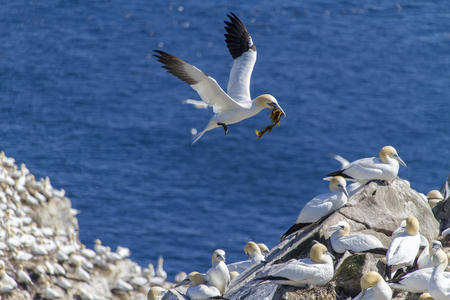 Northern Gannets nesting at Cape St. Marys Ecological Reserve, Newfoundland