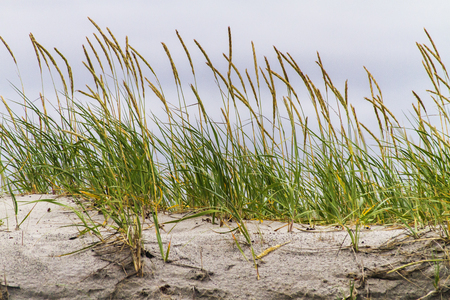 sea grass on top of sand dune, Musgrave Harbour, Newfoundland Stock Photo