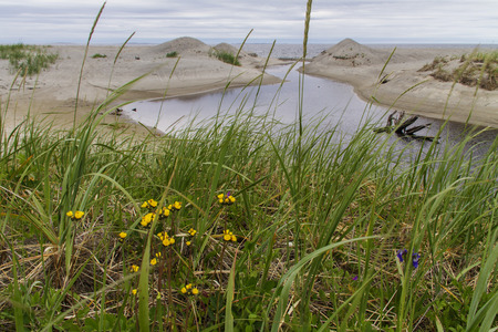 sand dunes, grass and flowers along Newfoundland coast at Musgrave Harbour