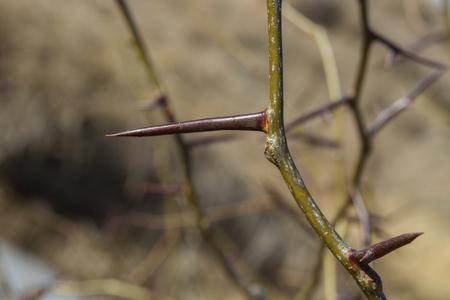 closeup of long thorn on thorny locust tree, Kansas