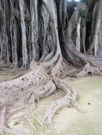 palermo   italy: Ancient Tree in Palermo Italy