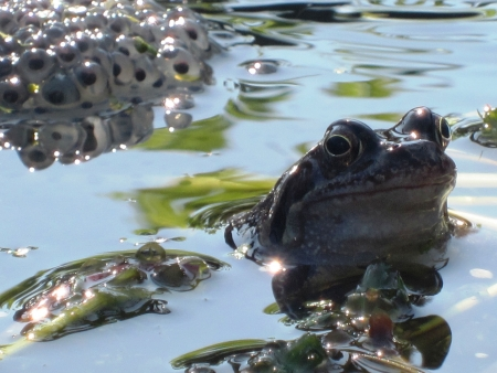 hibernate: Frogs breeding in pond with Frogspawn