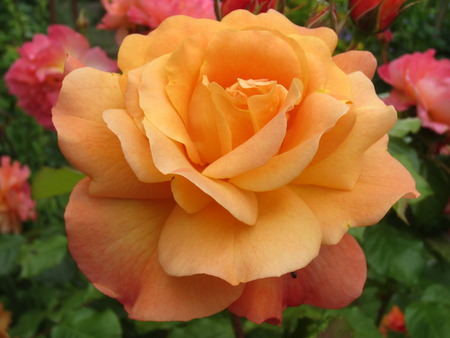 cottage garden: Beautiful Apricot Coloured Roses in Full Bloom in an English Cottage Garden