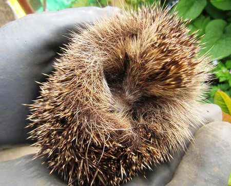 hibernate: Holding a Baby Hedgehog in the Garden that has come out of Hibernation