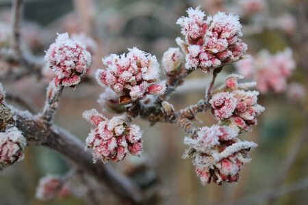 Flowers in the early morning Winter Frost