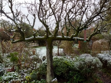 A snow scene in an English country garden with light snow on lawn and bushes with an espalier pear tree in the background on a cold winter day in England