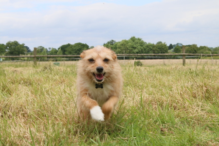 Portrait of pet dog adorable female Yorkshire terrier with ears flat and paws to the front running excitedly towards camera in grass summer meadow field Stock Photo