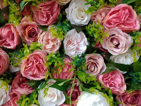Close up of romantic wall of scented beautiful stunning pink and white flower head buds with curled petals a bouquet close together with green tissue paper inserts a floral display in Summer sunshine
