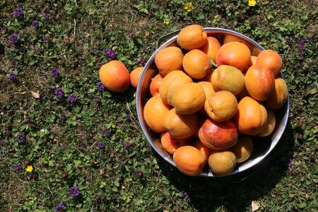 Close up organic fresh delicious ripe rich fresh apricots in metal colander on grass with violets growing in Summer home grown in country English allotment garden