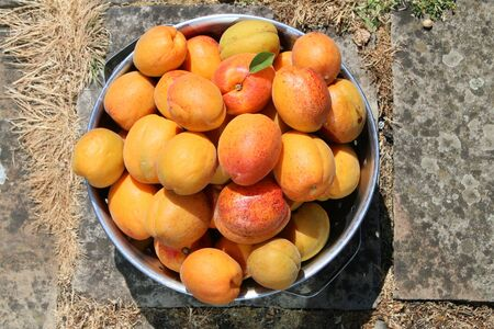 Close up of delicious organic apricots ripe and juicy in metal colander on stone patio home grown in English garden Summer sunshine Standard-Bild