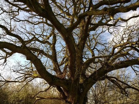 Close up of beautiful ancient oak tree with large brown bark trunk and natural branches reaching out to sky looking upwards to blue skies and cloud background above in Spring fresh air in cold weather