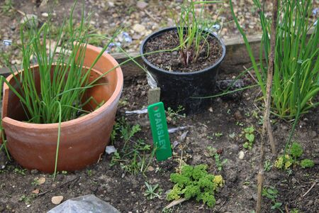 Close up of edible delicious chives grown in organic allotment garden on raised vegetable beds, the green allium herb in plant pot on soil in Sumer sunshine outdoors