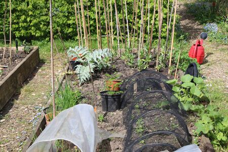 Landscape of organic country allotment garden of raised vegetable beds in early Summer with seedling plants on rich compost soil cloche and nets to protect and bamboo supports pots greenery in rows