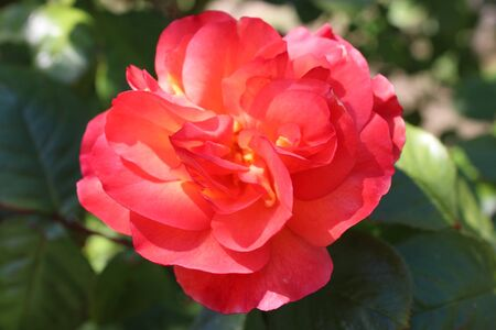 Close up of beautiful organic peach apricot Фото со стока